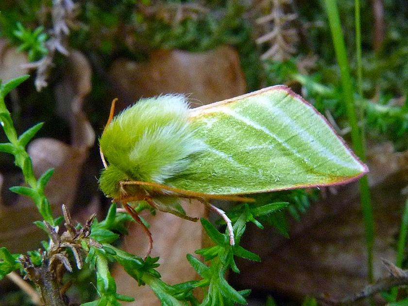 Green_Silver-lines_Moth_(a)