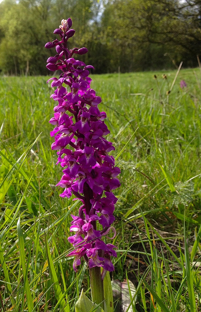 Orchis mascula, NY roadside IMG_1001