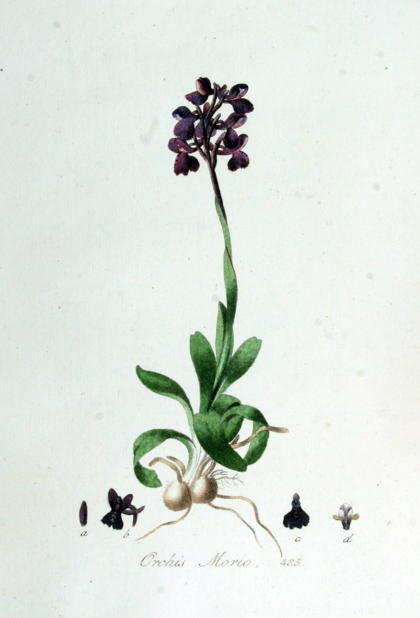 Orchis_morio_—_Flora_Batava_—_Volume_v7